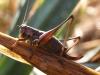 Dark Bush-cricket female Copyright: Sue Grayston