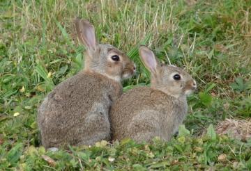rabbits Copyright: John Dobson