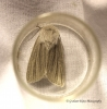 Reed Dagger   Simyra albovenosa Copyright: Graham Ekins
