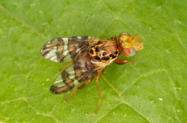 Goniglossum wiedemanni male Copyright: Peter Harvey