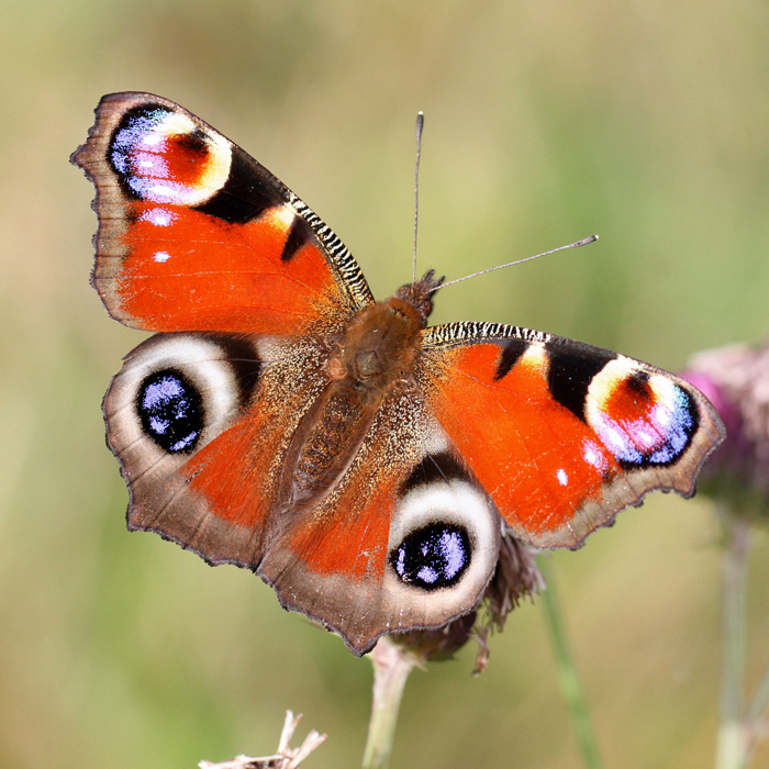 Peacock butterfly Copyright: Geoff Vowles