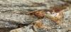 Limnephilus marmoratus 3 Copyright: Graham Ekins