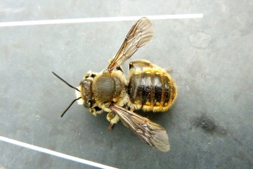European Wool Carder Bee Copyright: David Lee