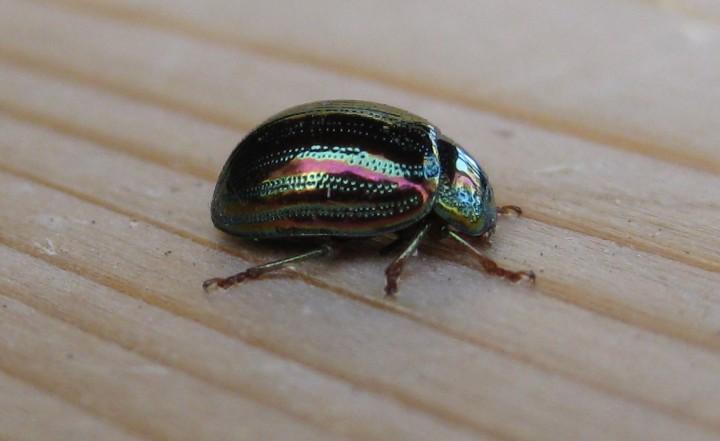 Rosemary Beetle 2 Copyright: Stephen Rolls