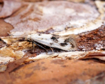 Elachista maculicerusella Copyright: Ben Sale