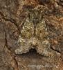 Feathered Ranunculus   Polymixis lichenea Copyright: Graham Ekins