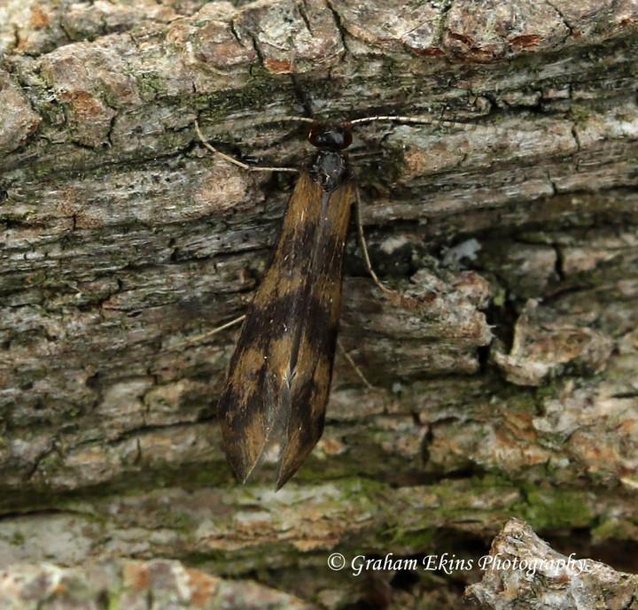 Mystacides longicornis 2 Copyright: Graham Ekins