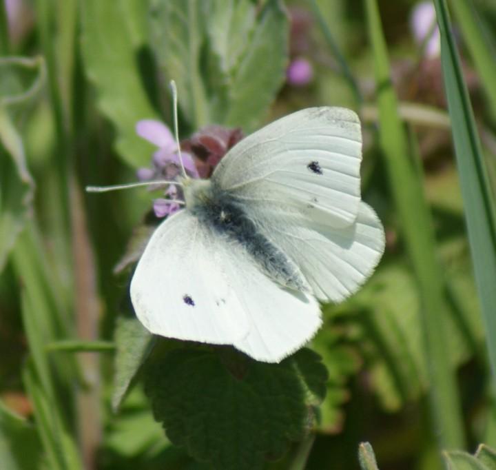 Small White (spring form) Copyright: Robert Smith