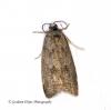 Cnephasia asseclana  Flax Tortrix 2 Copyright: Graham Ekins