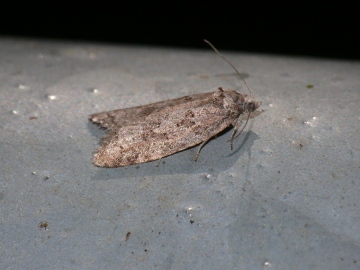 Cnephasia asseclana Copyright: Peter Furze