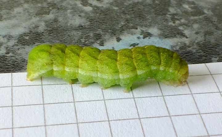 Caterpillar of Angle Shades Moth Copyright: Peter Pearson